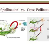 Self pollination and cross pollination