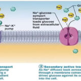 Transport of substances through cell membranes
