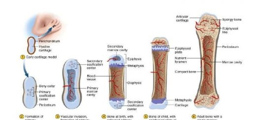 Histogenesis of Bone